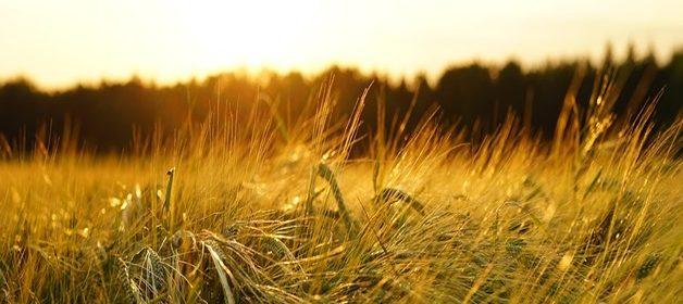 barley-1117282_960_720
